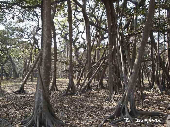 Racines banian Calcutta
