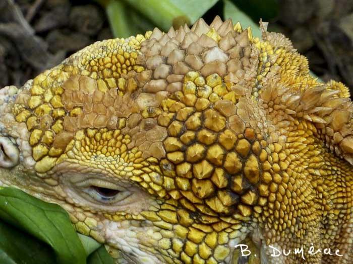 détail tête d'iguane