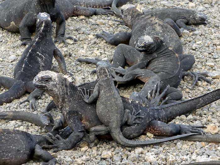 iguanes marins