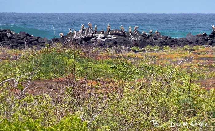 Pélicans Galapagos
