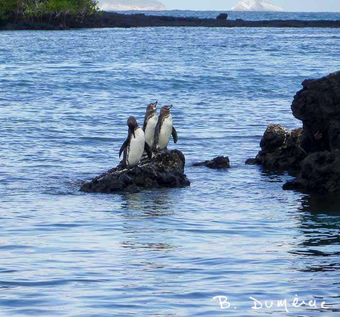 Pingouins Galapagos
