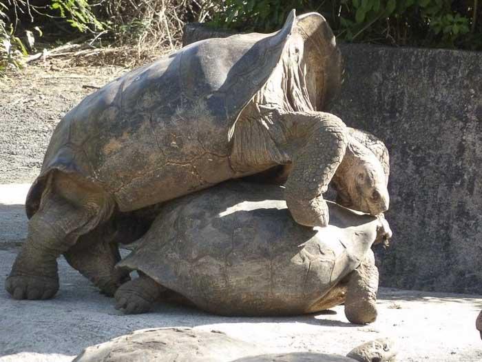 tortues géantes en amour