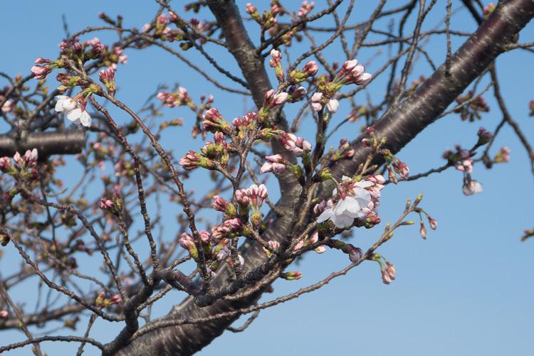 Karatsu 16 cerisiers fleurs