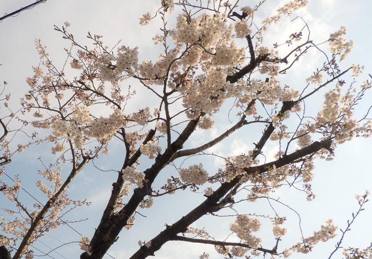 Karatsu 17 cerisiers fleurs