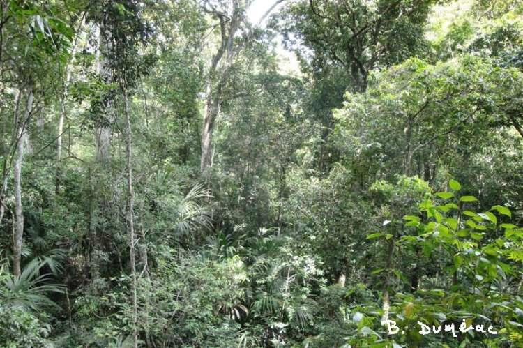 Foret à Tikal