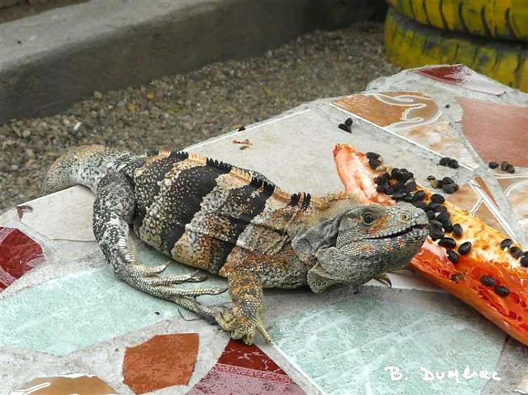 Iguane mangeant une papaye