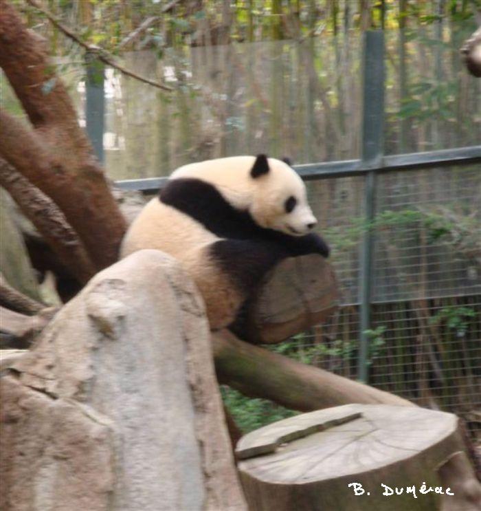 Panda Zoo San Diego