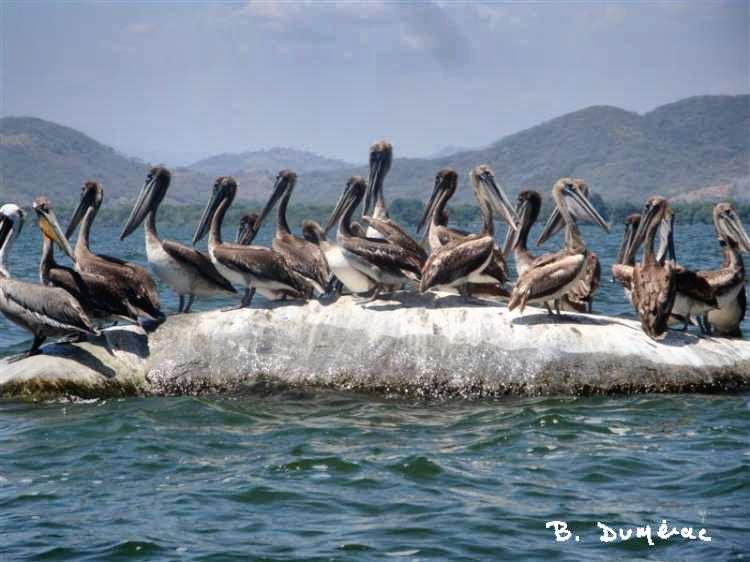 Pélicans se dorant au soleil
