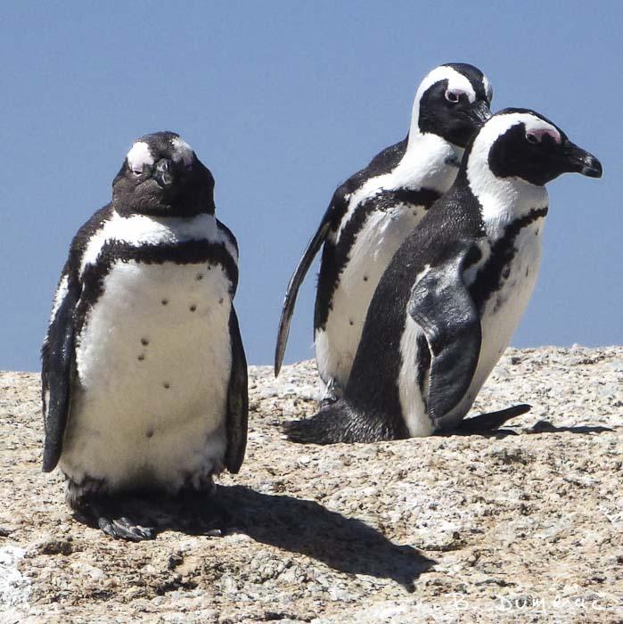 Manchots au Cap