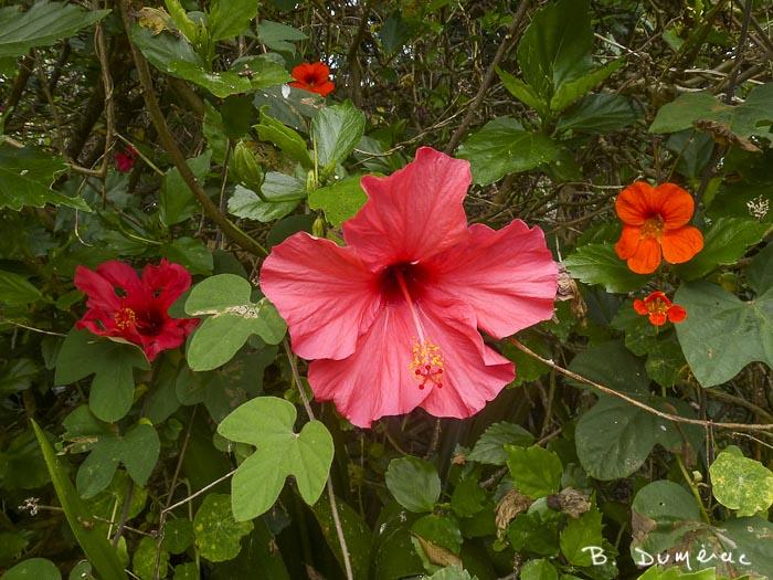 longwood, jardin 5 hibiscus