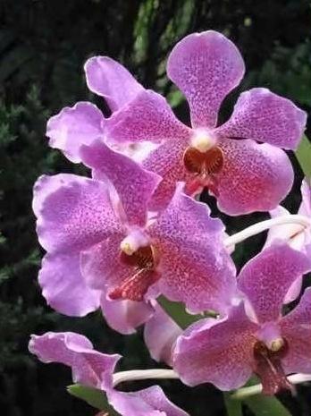 Orchidée de Singapour