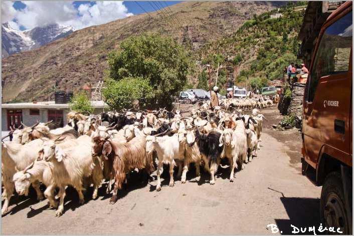 troupeau yacks à Keylong