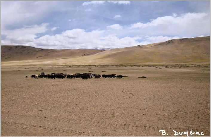troupeau de yacks